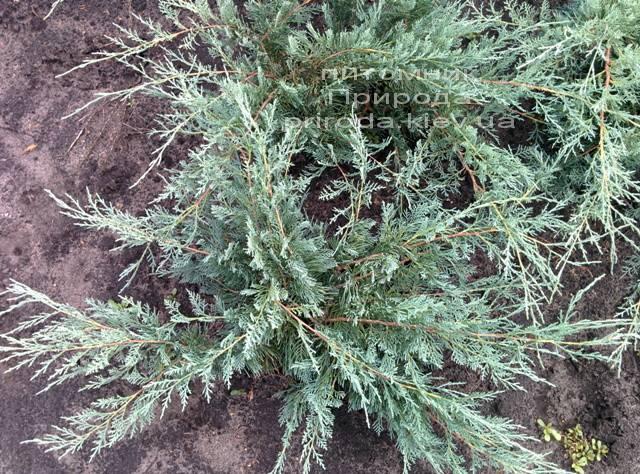 Можжевельник виргинский Грей Оул (Juniperus virginiana Grey Owl) ФОТО Питомник декоративных растений Природа Priroda (44)
