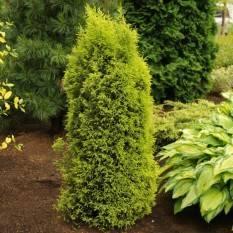 Можжевельник обыкновенный Голд Кон (luniperus communis Gold Cone) ФОТО Питомник растений Природа / Priroda