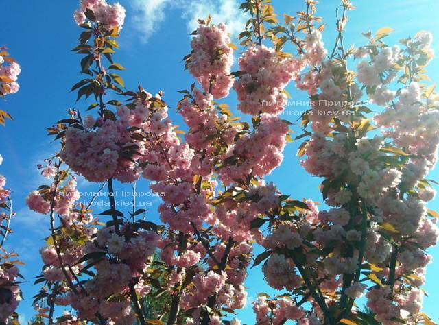 Сакура / Вишня мелкопильчатая Канзан (Prunus serrulata Kanzan) на штамбе Питомник растений Природа