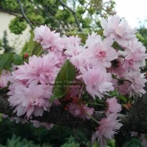 Сакура / Вишня мелкопильчатая Канзан (Prunus serrulata Kanzan) на штамбе ФОТО Питомник растений Природа Priroda