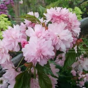 Сакура / Вишня мелкопильчатая Канзан (Prunus serrulata Kanzan) на штамбе ФОТО Питомник растений Природа