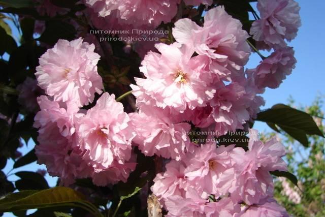 Сакура / Вишня мелкопильчатая Канзан (Prunus serrulata Kanzan) на штамбе ФОТО Питомник декоративных растений Природа/Priroda (1)