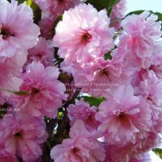 Сакура (Вишня декоративная) куст