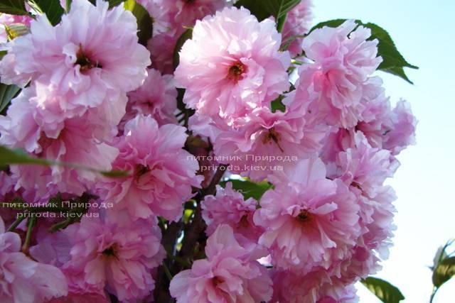 Сакура / Вишня мелкопильчатая Канзан (Prunus serrulata Kanzan) на штамбе ФОТО Питомник декоративных растений Природа Priroda (4)