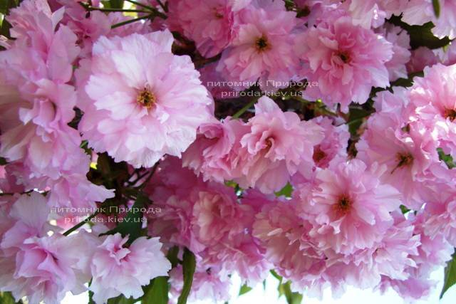 Сакура / Вишня мелкопильчатая Канзан (Prunus serrulata Kanzan) на штамбе ФОТО Питомник декоративных растений Природа Priroda (10)