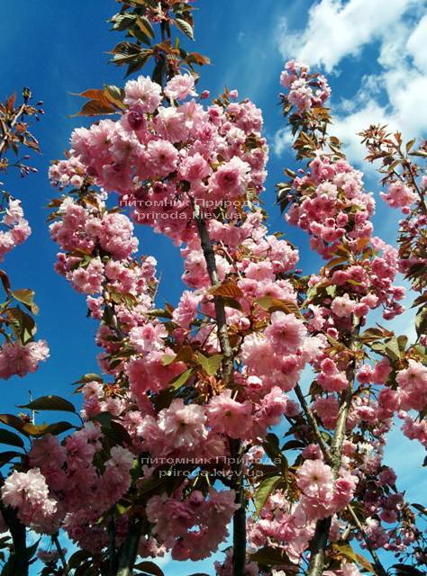Сакура / Вишня мелкопильчатая Канзан (Prunus serrulata Kanzan) на штамбе ФОТО Питомник декоративных растений Природа (11)