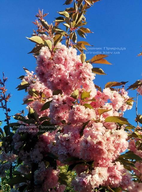 Сакура / Вишня мелкопильчатая Канзан (Prunus serrulata Kanzan) на штамбе ФОТО Питомник растений Природа (2)