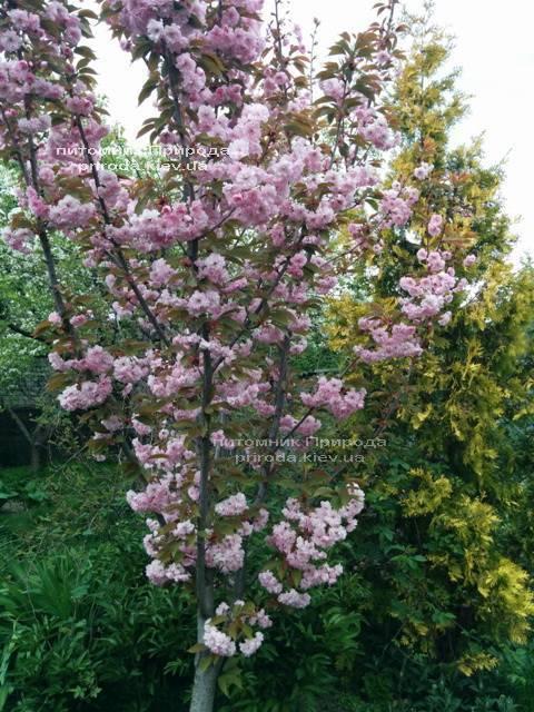 Сакура / Вишня мелкопильчатая Канзан (Prunus serrulata Kanzan) на штамбе ФОТО Питомник растений Природа Priroda (3)