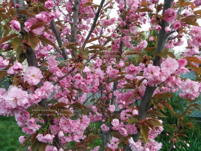 Сакура / Вишня мелкопильчатая Канзан (Prunus serrulata Kanzan) на штамбе Питомник декоративных растений Природа Priroda