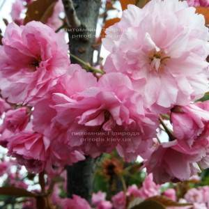 Сакура / Вишня мелкопильчатая Канзан (Prunus serrulata Kanzan) на штамбе ФОТО Питомник декоративных растений Природа