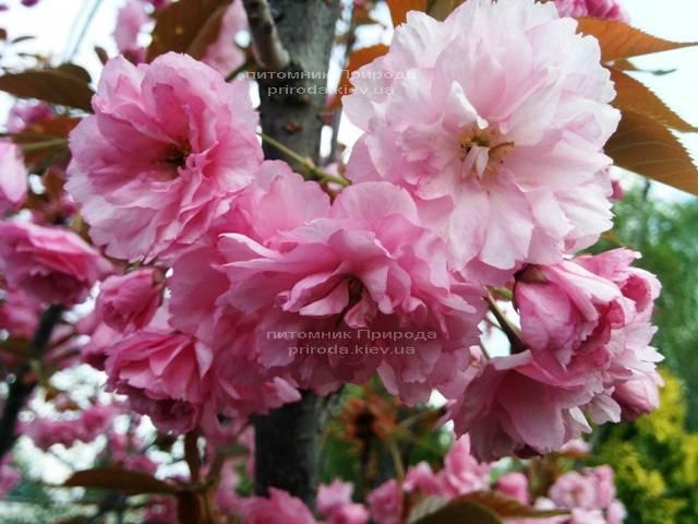 Сакура / Вишня мелкопильчатая Канзан (Prunus serrulata Kanzan) на штамбе ФОТО Питомник декоративных растений Природа (8)