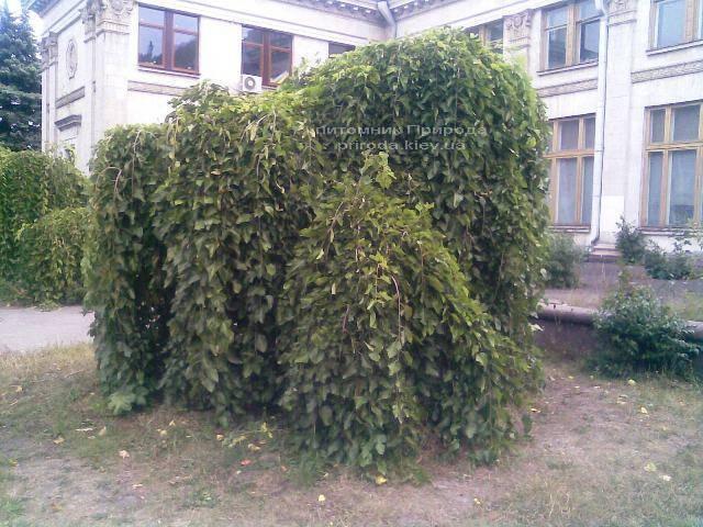 Шелковица плакучая Пендула на штамбе (Morus alba Pendulla) в питомнике декоративных растений Природа Priroda
