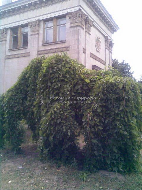 Шелковица плакучая Пендула на штамбе (Morus alba Pendulla) в питомнике декоративных растений Природа