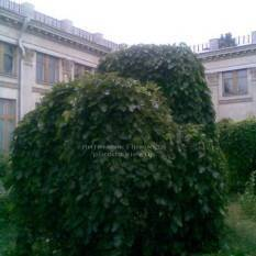 Шелковица плакучая Пендула на штамбе (Morus alba Pendulla) ФОТО Питомник растений Природа Priroda