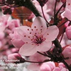 Слива растопыренная Хессея на штамбе (Prunus cerasifera Hessei) ФОТО Питомник растений Природа Priroda