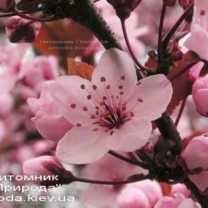 Слива растопыренная Хессея на штамбе (Prunus cerasifera Hessei) ФОТО Питомник растений Природа Priroda (1)