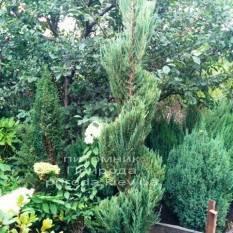 Можжевельник скальный Блю Арроу (luniperus scopulorum Blue Arrow) ФОТО Питомник растений Природа / Priroda