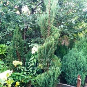 Можжевельник скальный Блю Арроу (luniperus scopulorum Blue Arrow) ФОТО Питомник растений Природа / Priroda (5)