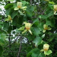Тюльпановое дерево / Лириодендрон (Liriodendron tulipifera) ФОТО Питомник растений Природа Priroda