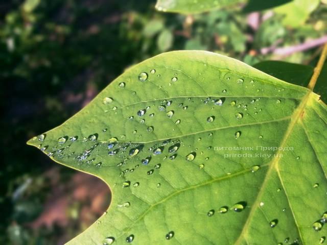 Тюльпановое дерево / Лириодендрон (Liriodendron tulipifera) ФОТО Питомник декоративных растений Природа Priroda (3)