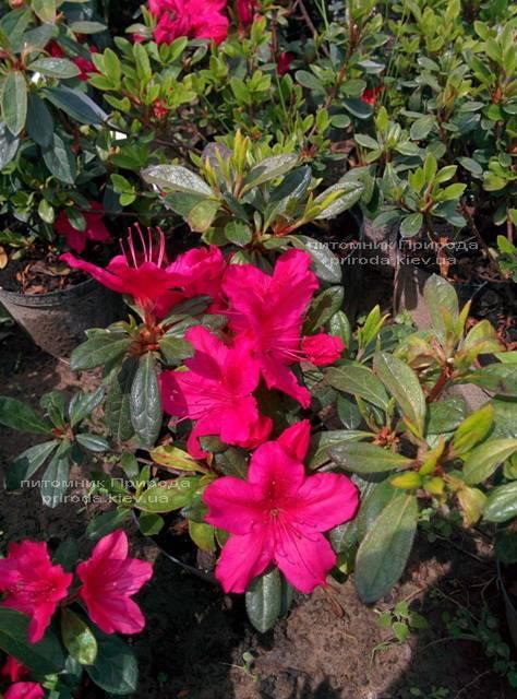 Азалия японская садовая / Рододендрон Арабеска (Rhododendron Azalea japonica Arabeska) ФОТО Питомник растений Природа Priroda (29)