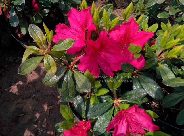 Азалия японская садовая / Рододендрон Арабеска (Rhododendron Azalea japonica Arabeska) ФОТО Питомник растений Природа Priroda (30)