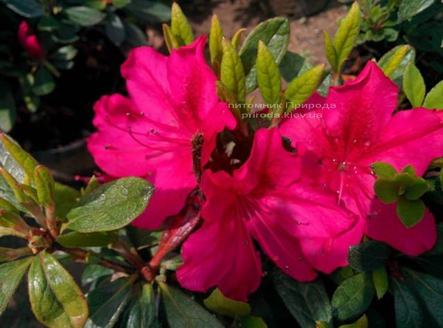 Азалия японская садовая / Рододендрон Арабеска (Rhododendron Azalea japonica Arabeska) ФОТО Питомник растений Природа Priroda (31)