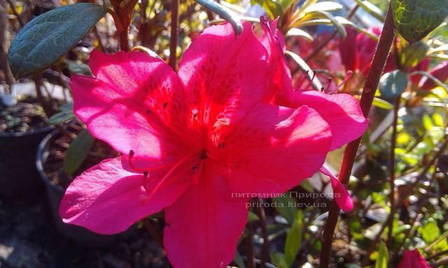 Азалия японская садовая / Рододендрон Арабеска (Rhododendron Azalea japonica Arabeska) ФОТО Питомник растений Природа Priroda (32)
