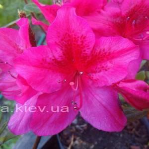Азалия японская садовая / Рододендрон Арабеска (Rhododendron Azalea japonica Arabeska) ФОТО Питомник растений Природа Priroda (33)