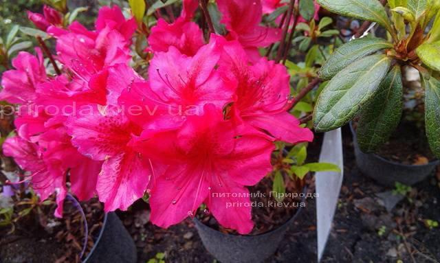 Азалия японская садовая / Рододендрон Арабеска (Rhododendron Azalea japonica Arabeska) ФОТО Питомник растений Природа Priroda (34)