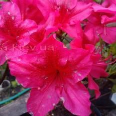 Азалия японская садовая / Рододендрон Арабеска (Rhododendron Azalea japonica Arabeska) ФОТО Питомник растений Природа Priroda