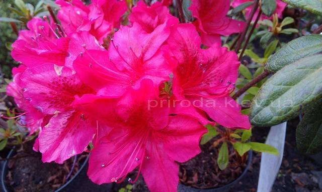 Азалия японская садовая / Рододендрон Арабеска (Rhododendron Azalea japonica Arabeska) ФОТО Питомник растений Природа Priroda (36)