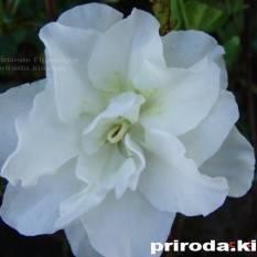 Азалия японская садовая / Рододендрон Шнеперле (Rhododendron Azalea japonica Schneeperle) ФОТО Питомник растений Природа Priroda