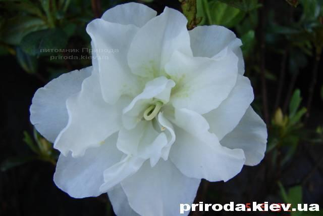Азалия японская садовая / Рододендрон Шнеперле (Rhododendron Azalea japonica Schneeperle) ФОТО Питомник растений Природа Priroda (37)
