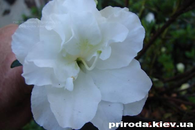 Азалия японская садовая / Рододендрон Шнеперле (Rhododendron Azalea japonica Schneeperle) ФОТО Питомник растений Природа Priroda (38)