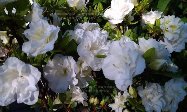 Азалия японская садовая / Рододендрон Шнеперле (Rhododendron Azalea japonica Schneeperle) ФОТО Питомник растений Природа Priroda (41)