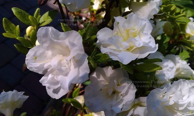 Азалия японская садовая / Рододендрон Шнеперле (Rhododendron Azalea japonica Schneeperle) ФОТО Питомник растений Природа Priroda (42)