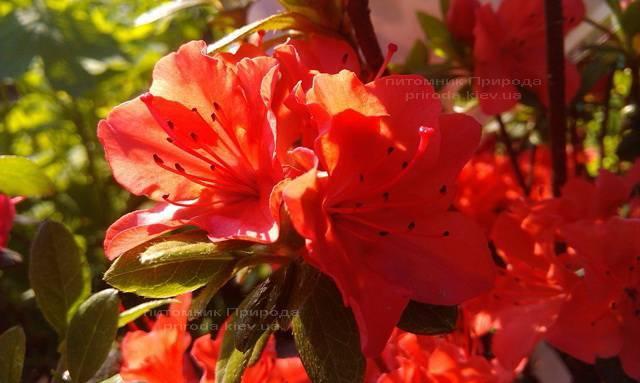 Азалия японская садовая / Рододендрон Гейша Оранж (Rhododendron Azalea japonica Geisha Orange) ФОТО Питомник растений Природа Priroda (45)