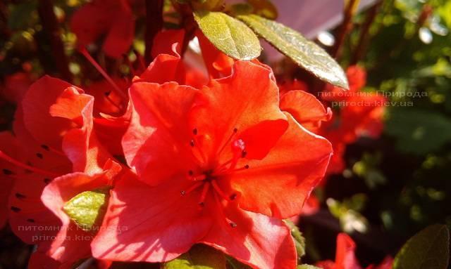 Азалия японская садовая / Рододендрон Гейша Оранж (Rhododendron Azalea japonica Geisha Orange) ФОТО Питомник растений Природа Priroda (47)