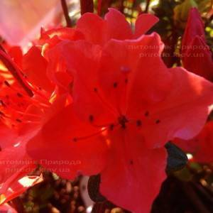 Азалия японская садовая / Рододендрон Гейша Оранж (Rhododendron Azalea japonica Geisha Orange) ФОТО Питомник растений Природа Priroda (48)