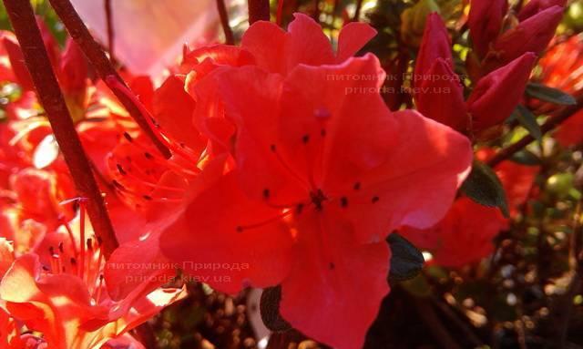 Азалия японская садовая / Рододендрон Гейша Оранж (Rhododendron Azalea japonica Geisha Orange) ФОТО Питомник растений Природа Priroda