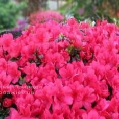 Азалия японская садовая / Рододендрон Марушка (Rhododendron Azalea japonica Marushka) ФОТО Питомник растений Природа Priroda