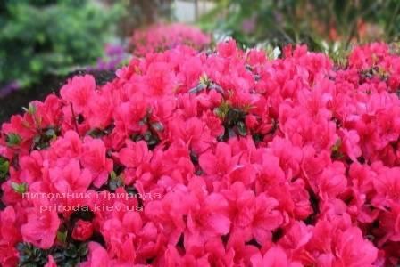 Азалия японская садовая / Рододендрон Марушка (Rhododendron Azalea japonica Marushka) ФОТО Питомник растений Природа Priroda (49)
