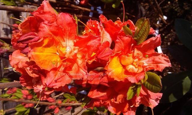 Азалия садовая крупноцветковая / Рододендрон листопадный Джуанита (Rododendron Juanita) ФОТО Питомник растений Природа Priroda