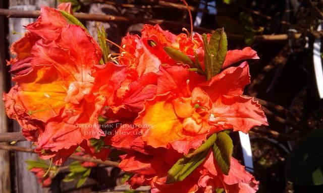 Азалия садовая крупноцветковая / Рододендрон листопадный Джуанита (Rododendron Juanita) ФОТО Питомник растений Природа Priroda (11)