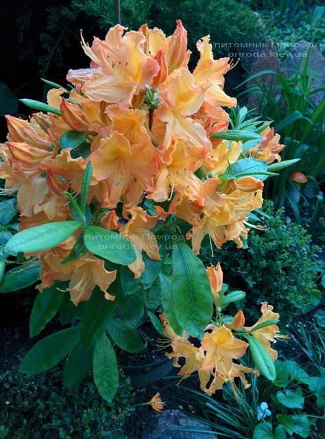 Азалия садовая крупноцветковая / Рододендрон листопадный Голден Лайт (Rododendron Golden Lights) ФОТО Питомник растений Природа Priroda (15)