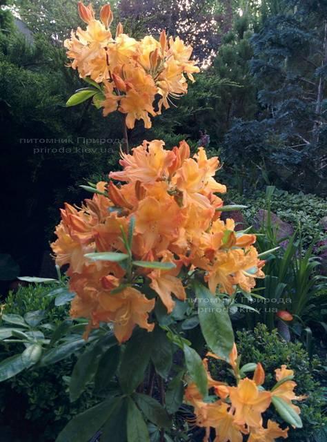 Азалия садовая крупноцветковая / Рододендрон листопадный Голден Лайт (Rododendron Golden Lights) ФОТО Питомник растений Природа Priroda (16)