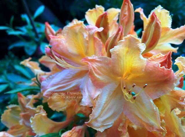 Азалия садовая крупноцветковая / Рододендрон листопадный Голден Лайт (Rododendron Golden Lights) ФОТО Питомник растений Природа Priroda (18)
