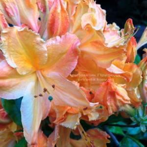 Азалия садовая крупноцветковая / Рододендрон листопадный Голден Лайт (Rododendron Golden Lights) ФОТО Питомник растений Природа Priroda