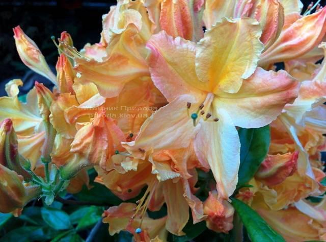 Азалия садовая крупноцветковая / Рододендрон листопадный Голден Лайт (Rododendron Golden Lights) ФОТО Питомник растений Природа Priroda (21)